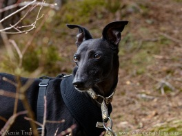 black whippet in black harness looking to his right on a forest trail