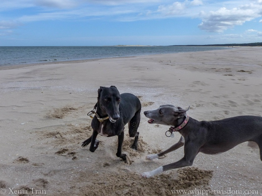 two whippets playing on the beach