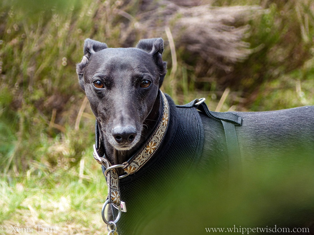 black whippet on forest trail, looking straight into the lens