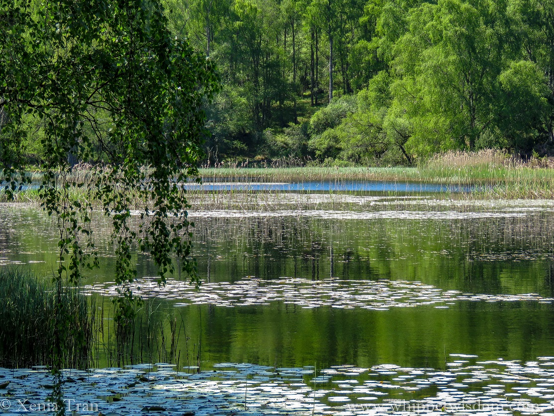 Lochan Mor with waterlily buds and trees full of green leaves