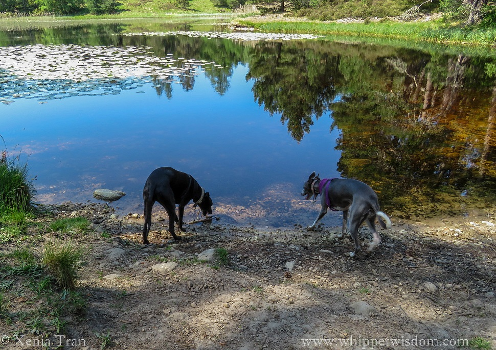 two whippets by a loch, one drinking