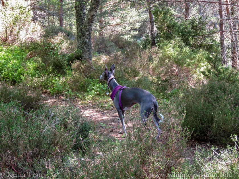 blue whippet in purple harness on forest trail