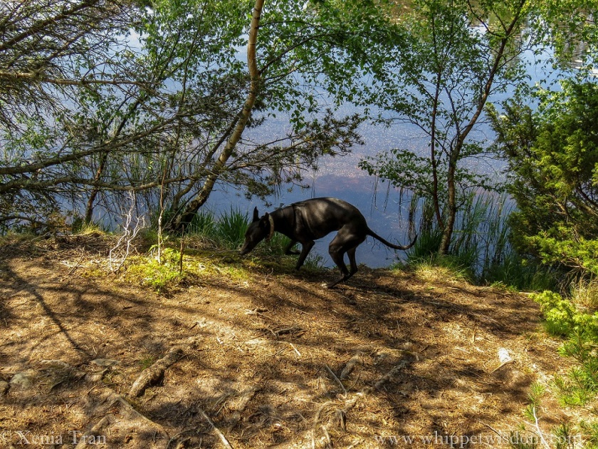 black whippet in the shade of trees beside the loch