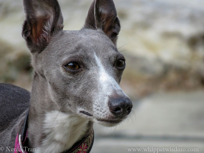 portrait of blue whippet, looking alert with ears up
