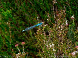 a blue damselfly resting on young heather
