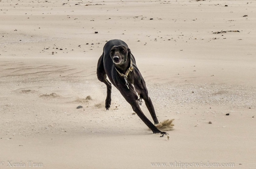 a black whippet running on the beach