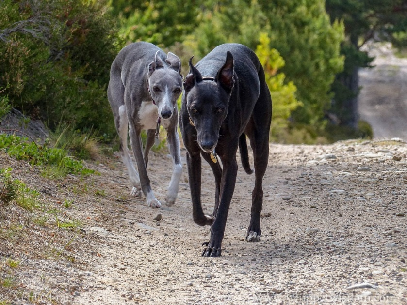 two whippets walking towards the camera on a forest trail