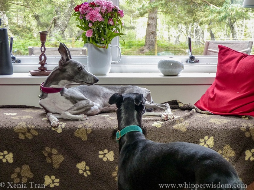 a blue whippet on a window seat and a black whippet standing in front her, looking through the window