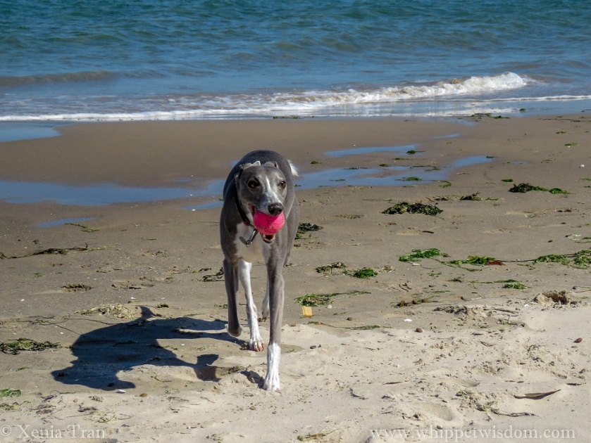 blue whippet walking on the beach with a pink ball in her mouth