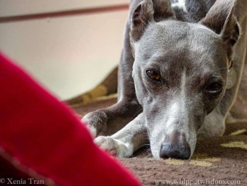 portrait of a snoozing blue whippet on a brown dog blanket
