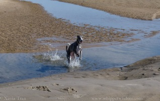 smiling blue whippet running through a tidal lagoon