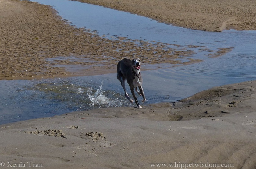 smiling blue whippet reaching the sands after running through a tidal lagoon
