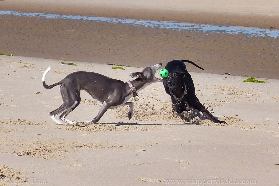 two whippets playing with a green and black ball on the beach