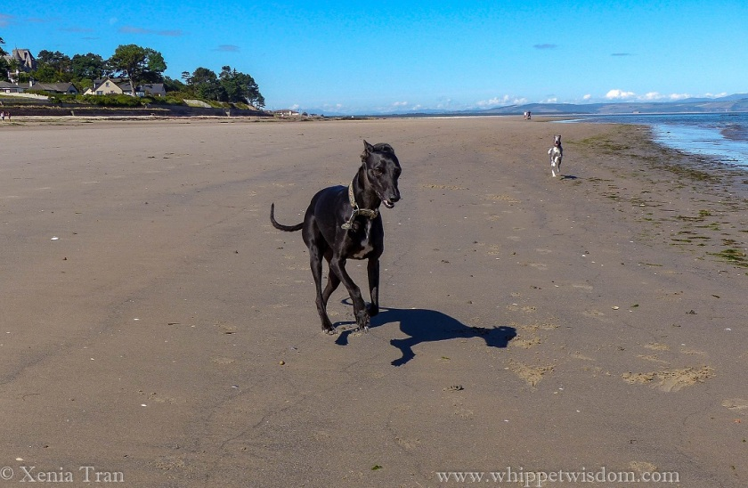 a black whippet running on tidal sands with a blue whippet running behind him