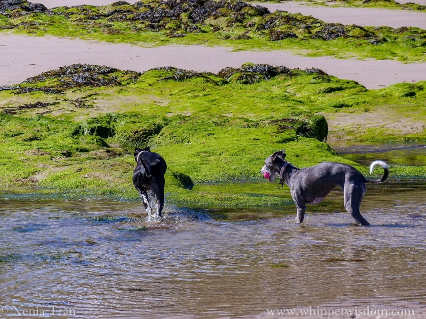 two whippets walking through a tidal pool