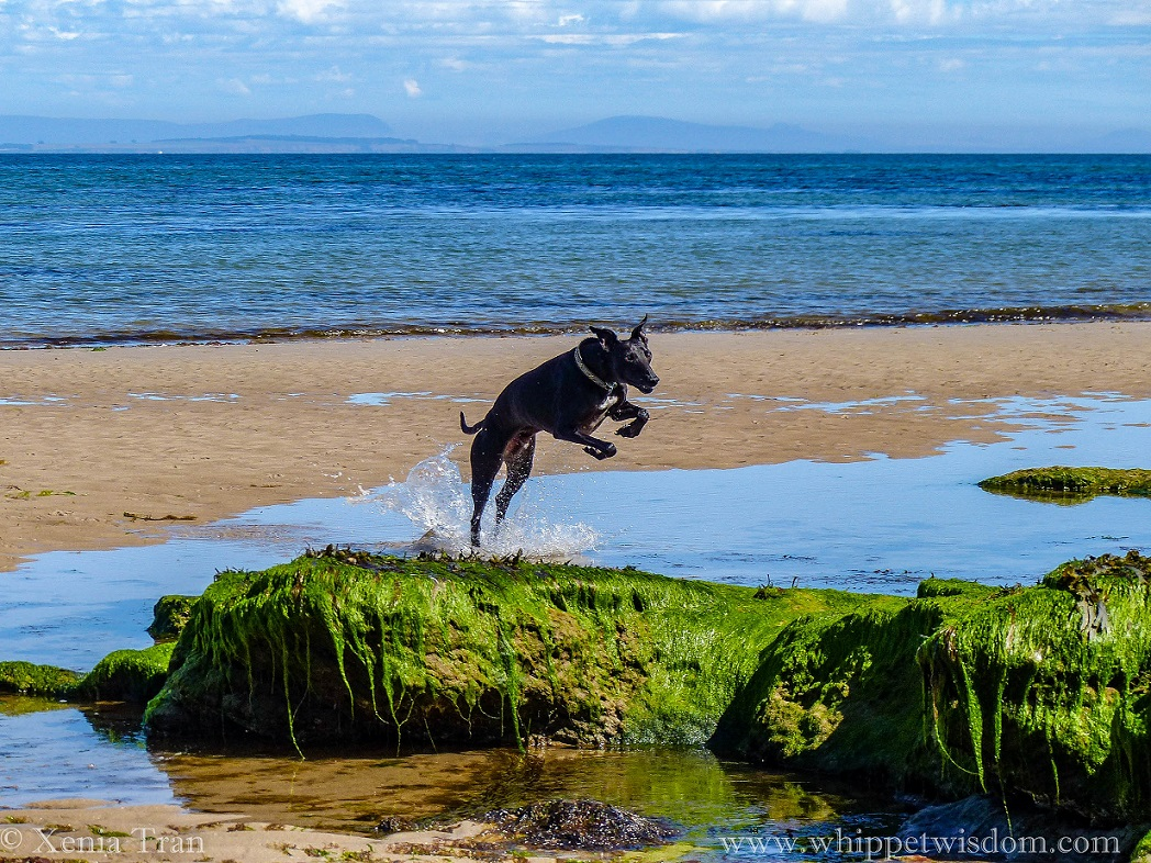 black whippet leaping through a tidal lagoon towards seaweed-covered rocks