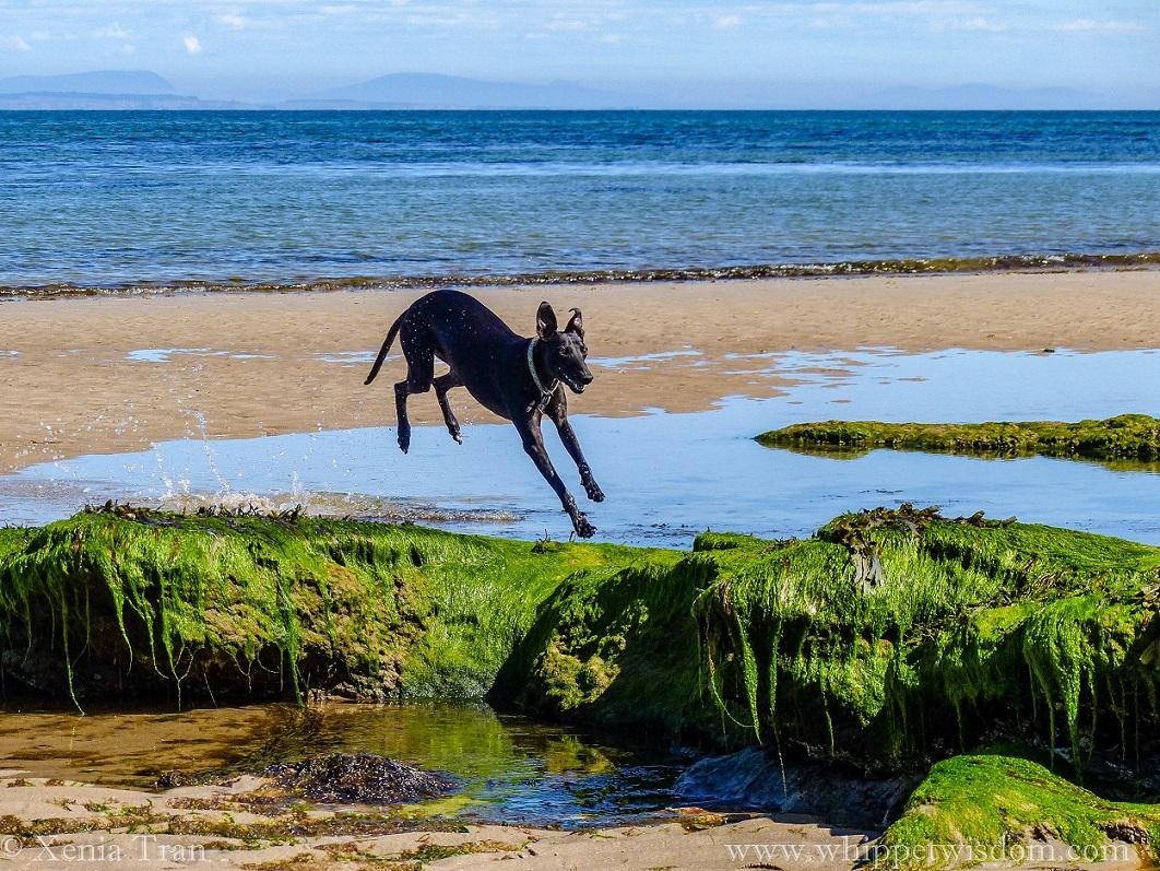 black whippet flying through a tidal lagoon towards seaweed-covered rocks