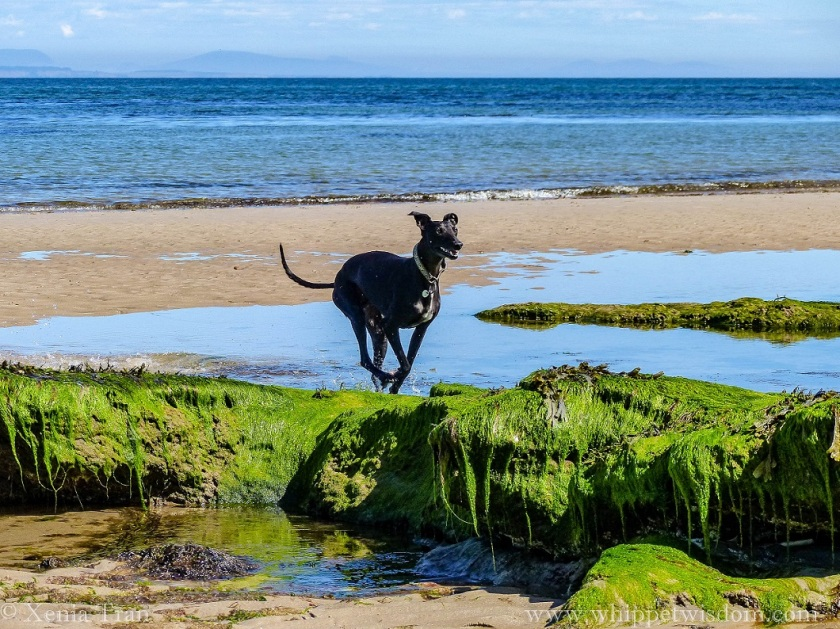 black whippet running through a tidal lagoon towards seaweed-covered rocks
