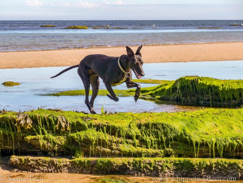 black whippet leaping from a tidal pool on to seaweed-covered rocks