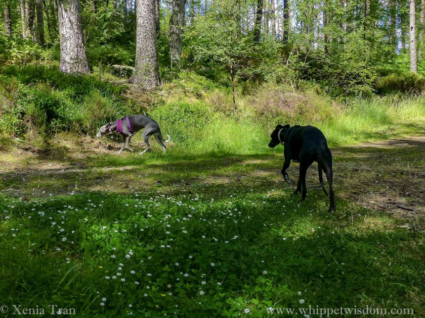 Two whippets walking through dappled light on a forest trail