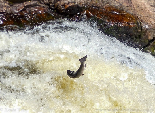 a salmon leaping against the flow near the top of a powerful waterfall
