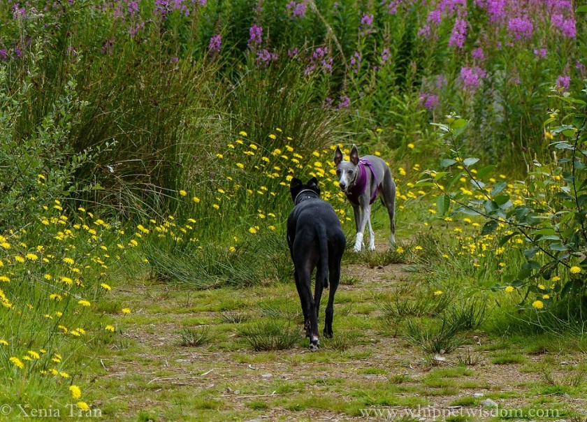 a blue whippet and a black whippet on a forest trail with wildflowers