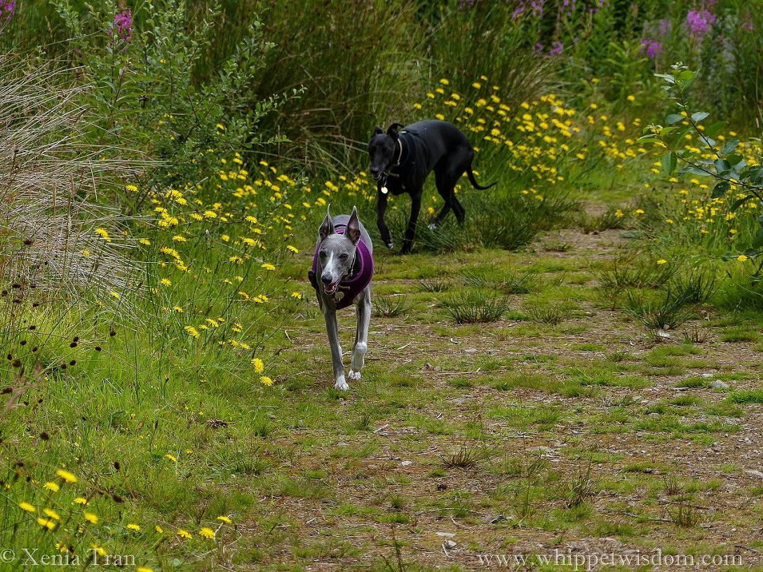 two whippets on a forest trail with wildflowers