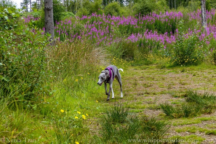 blue whippet walking through a clearing in the forest filled with purple and yellow wildflowers