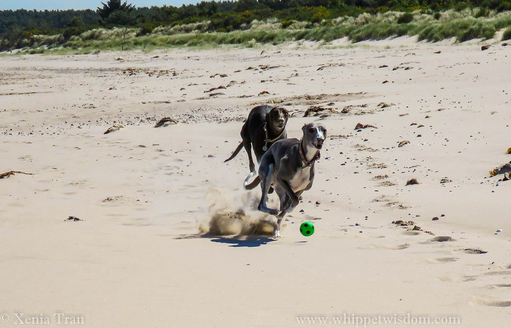 two whippets running on the beach chasing a green ball