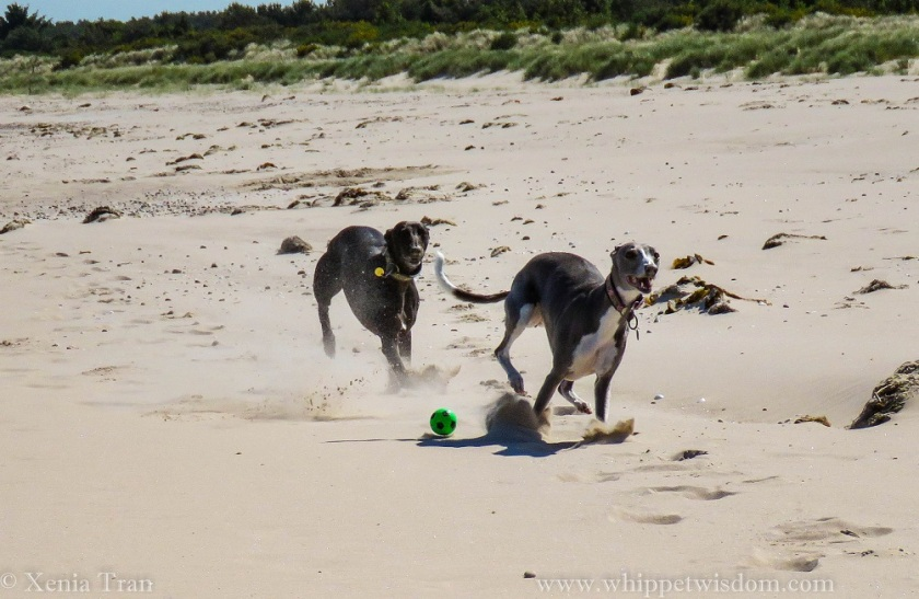two smiling whippets chasing each other on the beach with a green ball