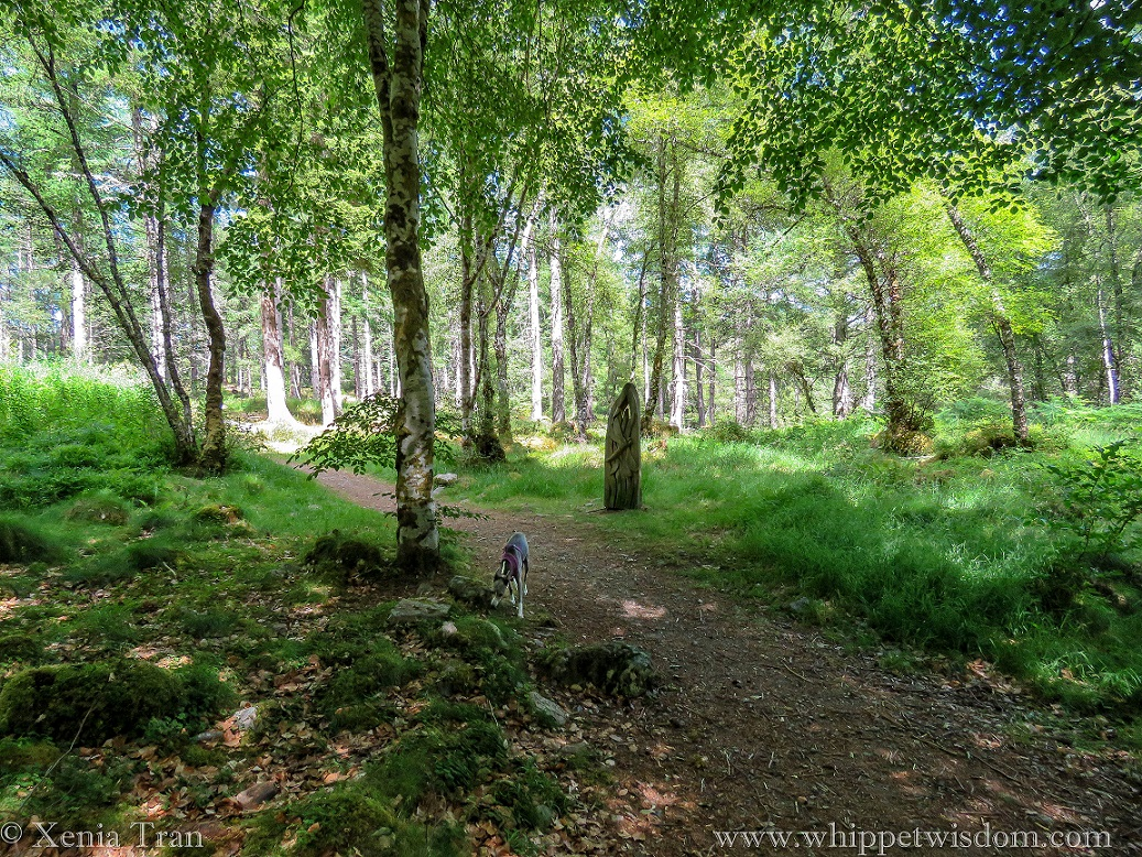 a blue whippet on a forest trail in Achany Forest