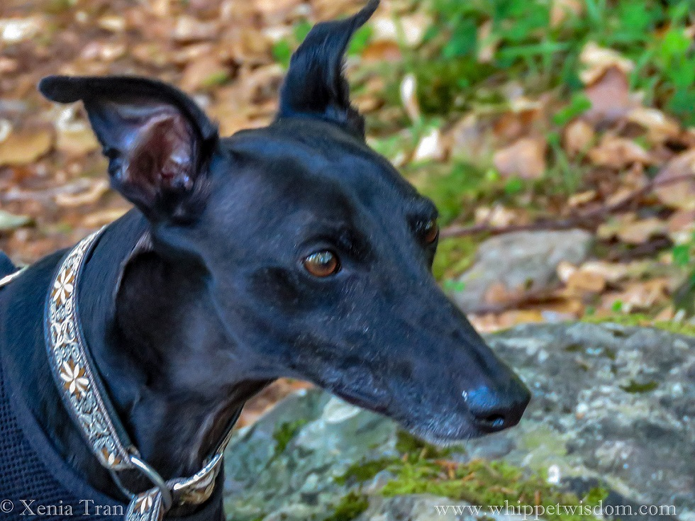 head shot of a black whippet looking ahead, ears raised and highly alert
