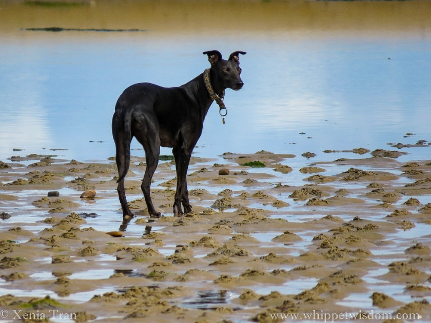 black whippet looking to his right on the edge of a tidal lagoon