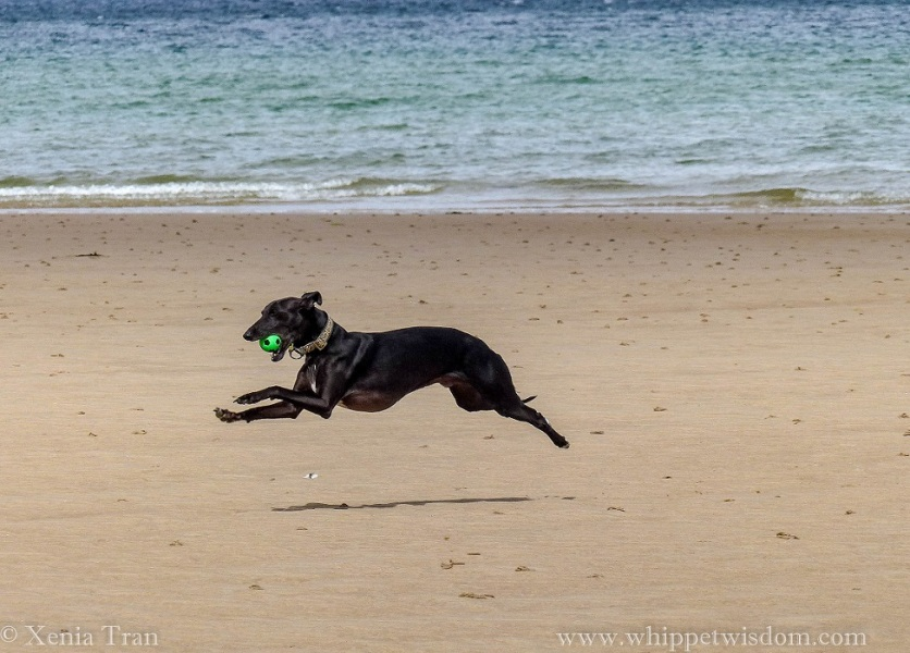 black whippet leaping across the sands with a green ball in his mouth