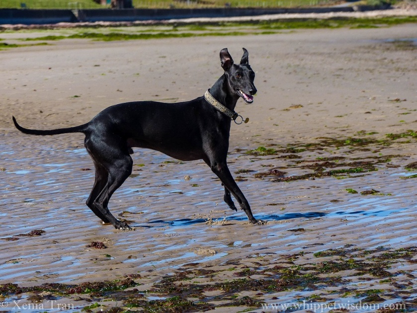 a black whippet leaping sideways on the tidal sands