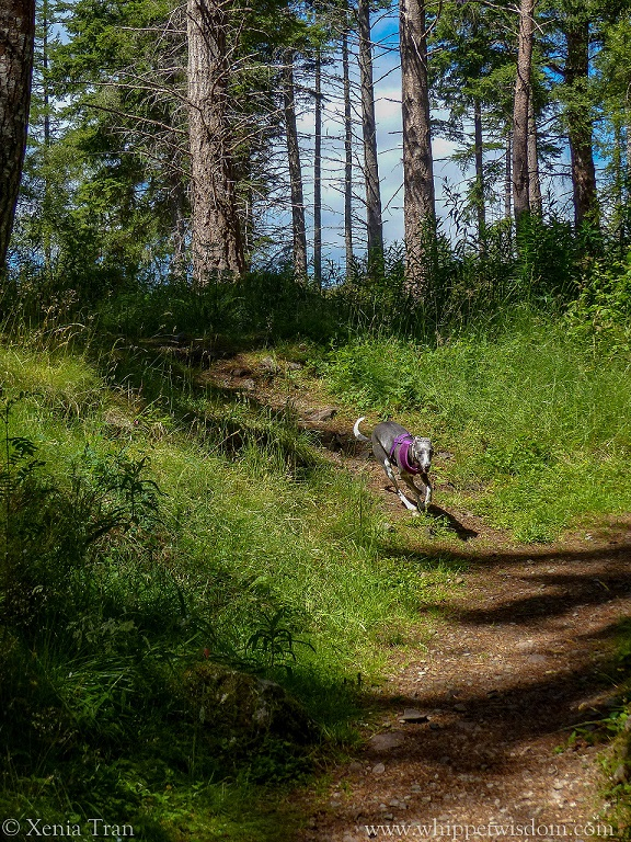 blue whippet running down a forest trail