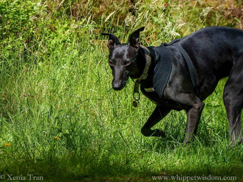 black whippet walking through tall grass on forest trail