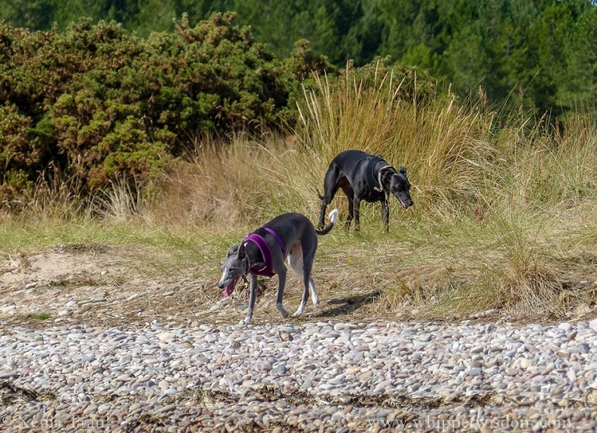 two whippets walking through golden bent grass towards the shingle