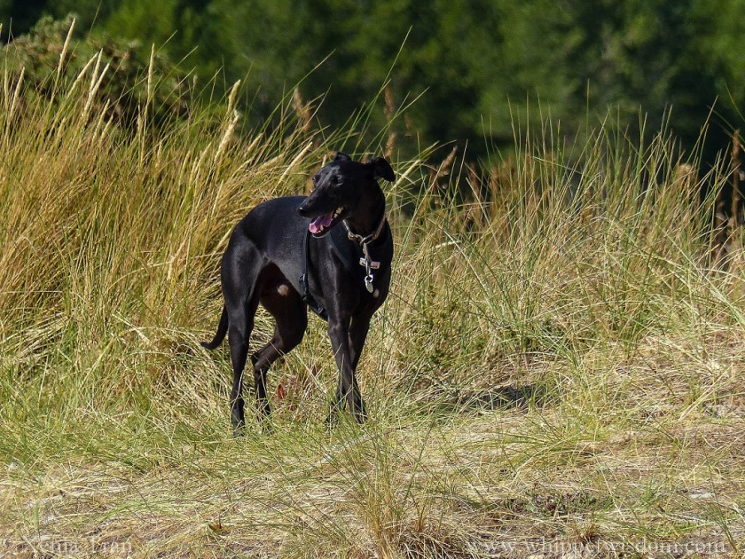 black whippet in black harness smiling and looking over his right shoulder among golden bent grass