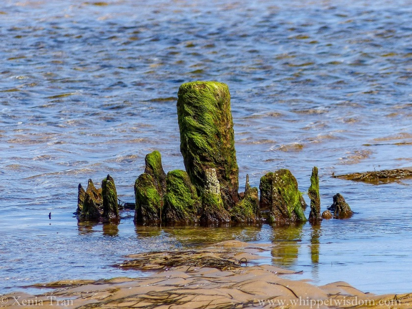 a wooden marker covered in seaweed and swallowed by tidal sands