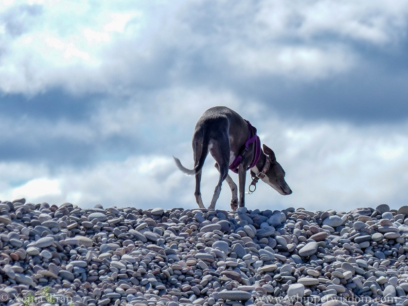 a blue whippet climbing to the top of a bank of shingle