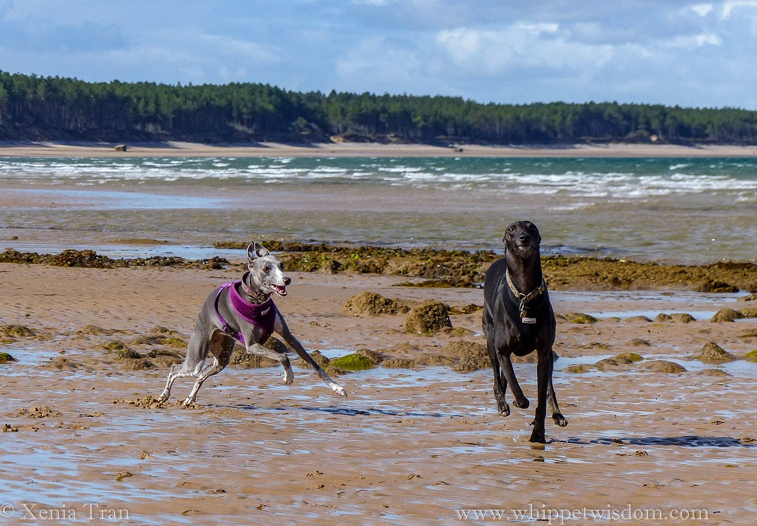 two whippets running on wet tidal sands, having fun