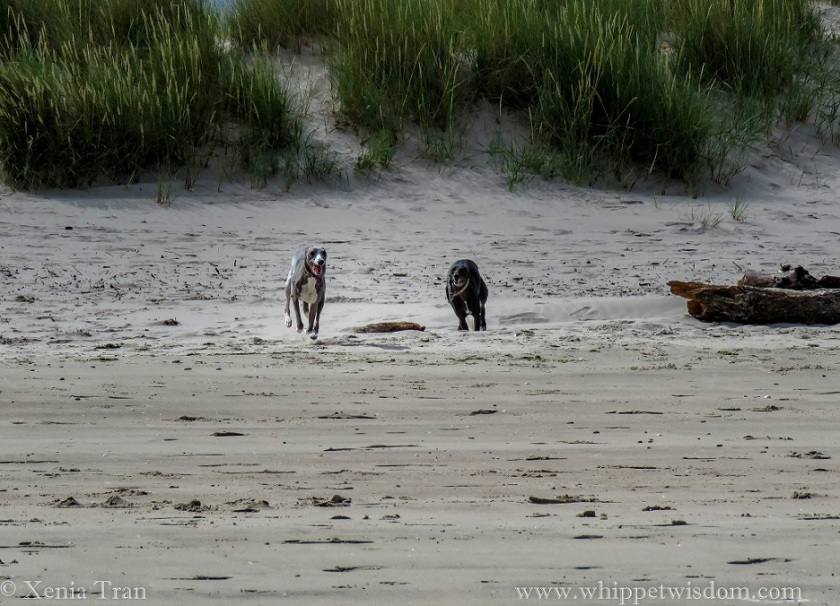 two whippets running onto the beach from the dunes