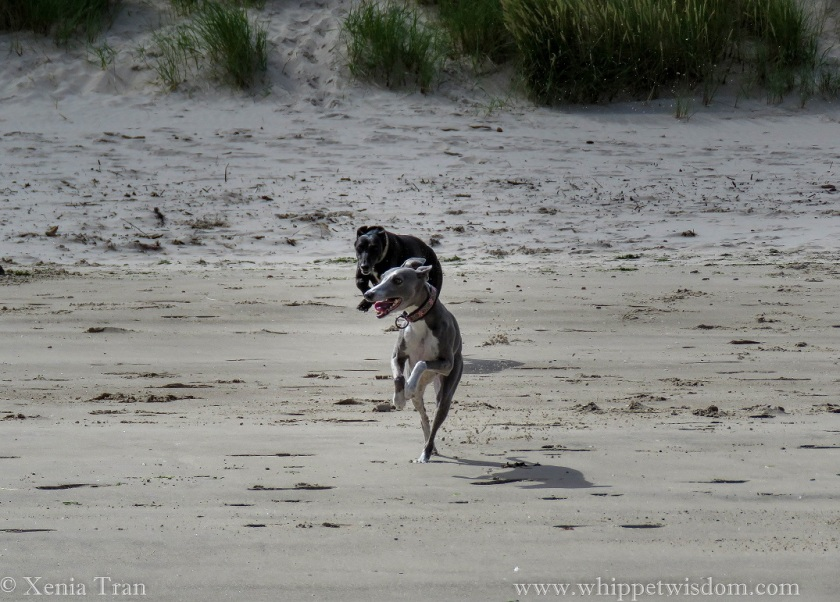 a blue whippet leaping ahead of a black whippet across the tidal sands