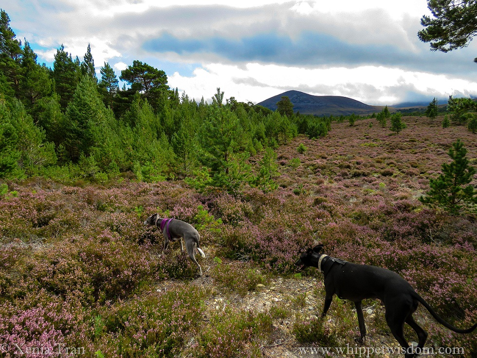 two whippets walking through heather-clad hills