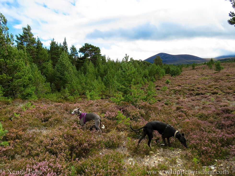 two whippets standing on a heather-clad hill