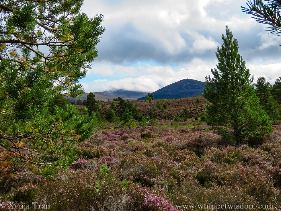 purple heather in bloom covering the hillsides