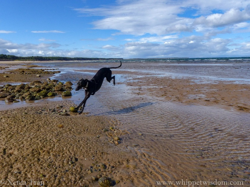 a black whippet leaps across tidal water and lands on outstretched paws