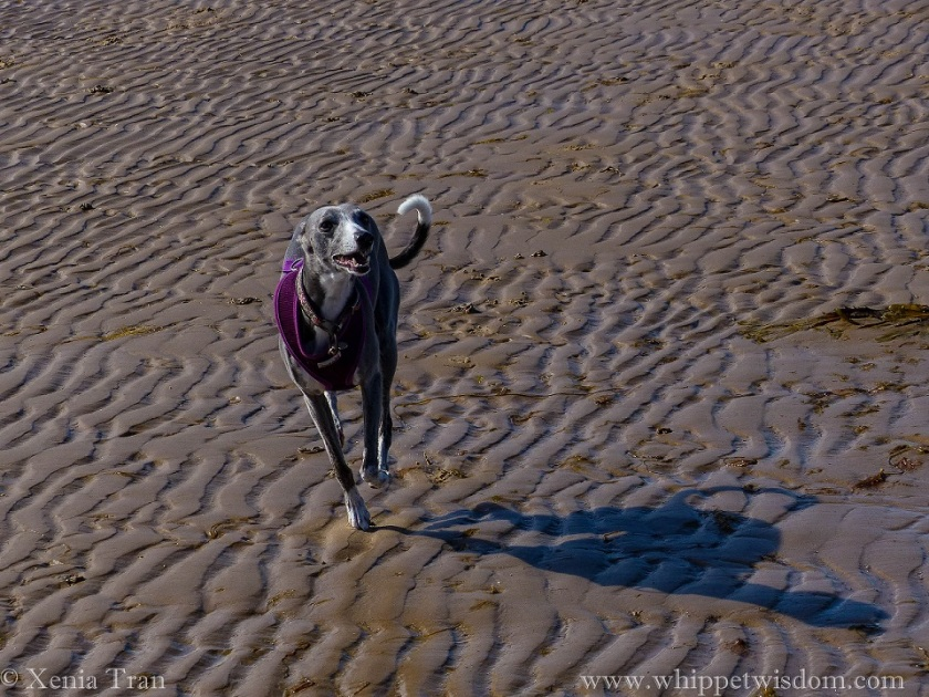 a blue whippet in a purple harness cantering on tidal sands in the sun