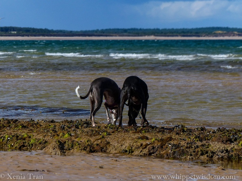 two whippets bending down to sniff the seaweed on the beach